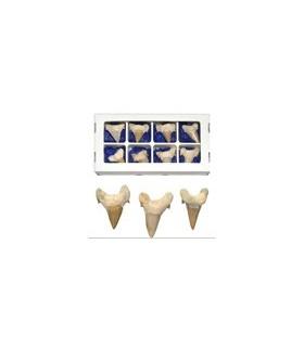 Dente fossile di squalo - 5cm - deserto del Sahara - novità