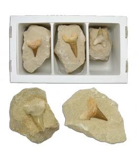 Diente de Tiburón Fósil Matriz - 12 cm - Desierto del Sáhara