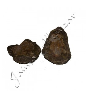 Трилобиты - природных ископаемых - грубо - оригинальный камень - 13 см