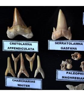 Colección Fósiles - 45 - 70 Millones de Años - Vitrina De Cristal - NOVEDAD