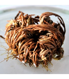 Rose of Jericho small - original - Anastatica hierochuntica
