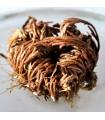 Rosa de Jericó - Originaria Oriente - Anastatica hierochuntica