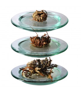 Rose of Jericho Small - A native East - Anastatica hierochuntica