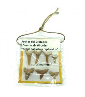 Colección 7 Dientes Tiburon - Blister 7x7 xm