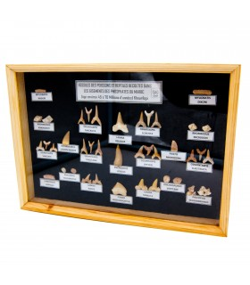 Colección Fósiles Dientes Tiburón - 45 - 70 Millones de Años - Vitrina De Cristal
