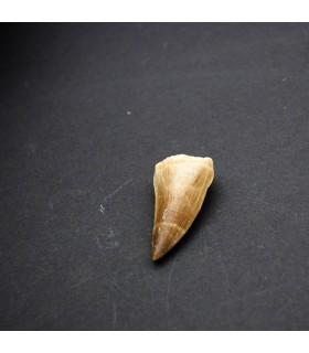 Diente Tiburón Fosilizado - Desierto Sahara - Solo diente - 450 millones de años